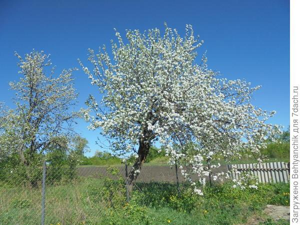 Этой яблоне   больше 20 лет .