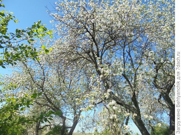 Очень старые деревья. Но как красивы!