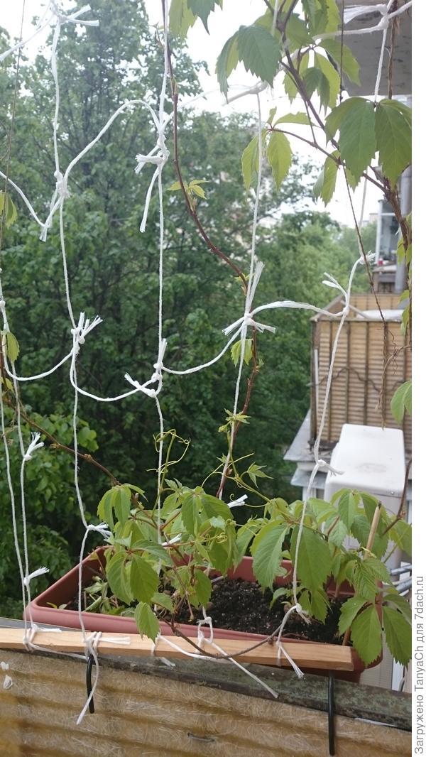 виноград на балконе.
