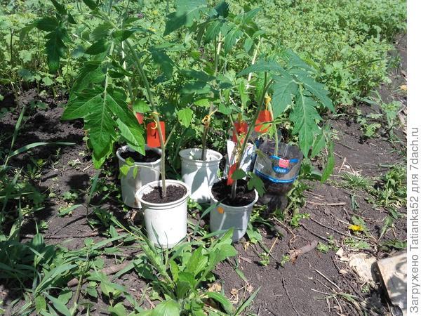 Переросшие томаты
