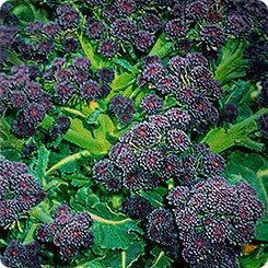 Капуста брокколи Пурпурная Королева