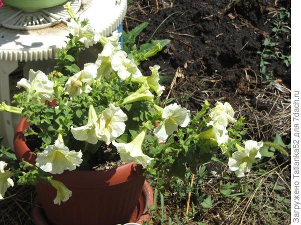 В этот же день (7 июня) - фото растения в горшке.