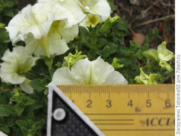 А это хочу показать размер цветка.
