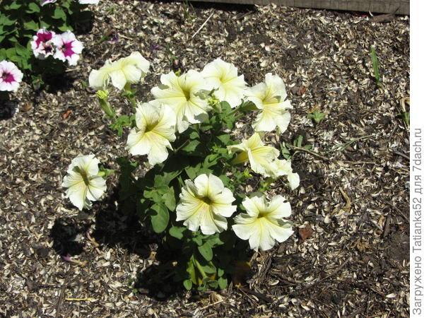25.06 цветет  грунте