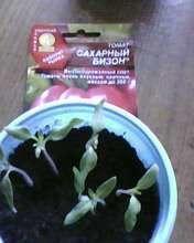 Всего семян томата Сахарный бизон из 8 шт посеянных в почву взошло 6 шт. Начало появления настоящих листьев.