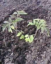 Такая рассада из посева в почве