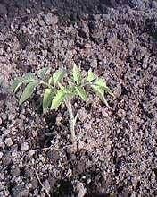 1 саженец от посева в почву
