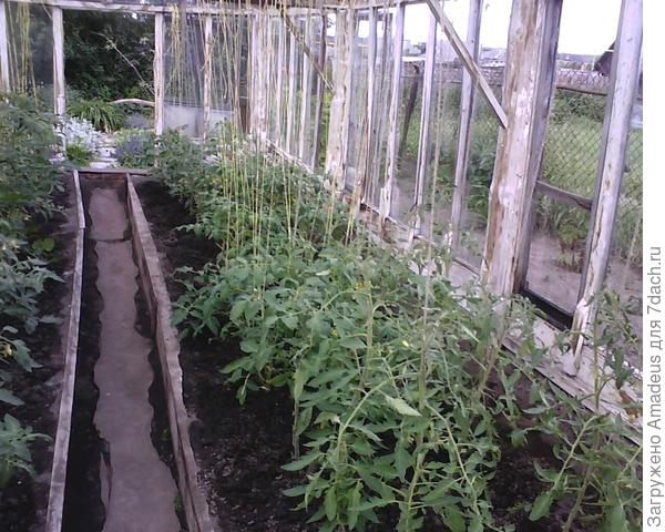 Расположение данного томата в теплице