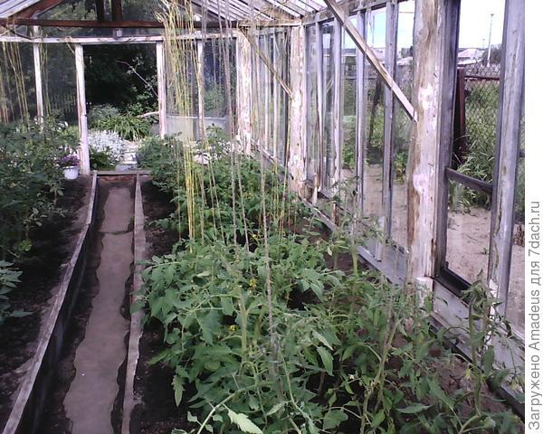 Данный сорт томата Обжорка высажен в середине правой грядки с восточной стороны теплицы
