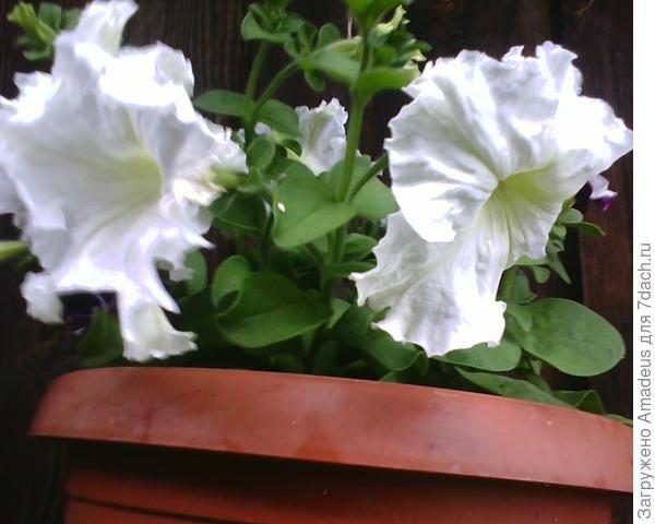 Петуния Дайкири F1 , размер цветка 9 см