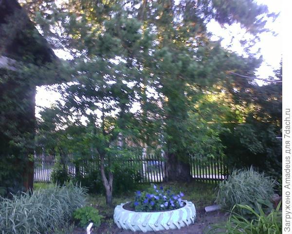 Клумба с петунией под яблоней , а она сидит под сосной.