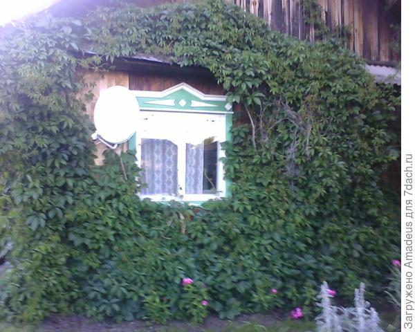 Обзор уголка из окна дома , увитого девичьим виноградом