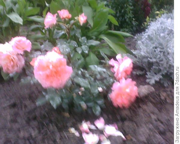 Выслали как Рапсоди ин Блу , но цветы очень крупные нежно-розового цвета с приятным ароматом, в кисти по нескольку штук, махровая и очень напоминает квартированный цветок / вроде бы это так называется /