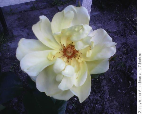 А это цветок первой розы .Дождь выдерживает плохо и на солнце выгорает до белого , и без дождя все равно быстро осыпается.