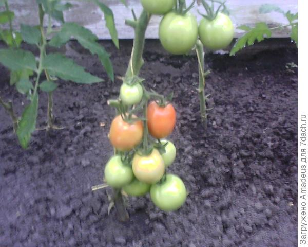 Нижняя кисть имеет 8 плодов в форме немного вытянутого цилиндра