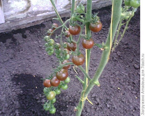 Нижняя кисть - центральный побег - начинает наливаться и в этой кисти  23 плода.