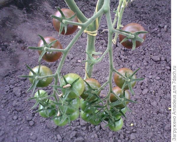 Наливается нижняя кисть на центральном побеге - имеет 19 плодов.