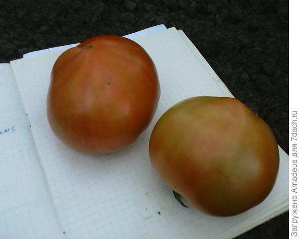 Сняла 2 краснеющих плода