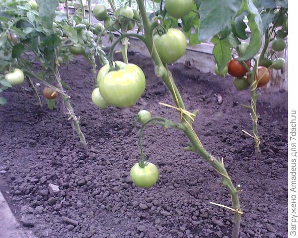 Куст после удаления плодов