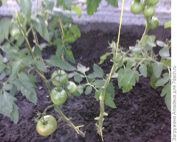 К моему сожалению фото с созревающими томатами удалила , а это фото после снятия