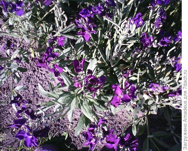 Левкой фиолетовый - он уже отцветает , надо делать обрезку. А то он уже весь в семенах.