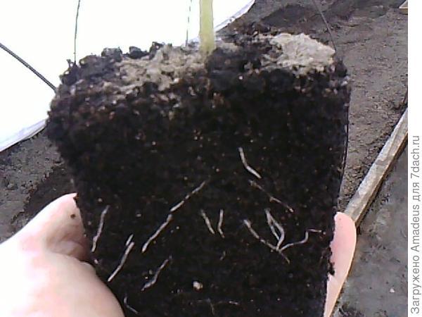После впитывания влаги в лунке вынимаю рассаду из горшочка