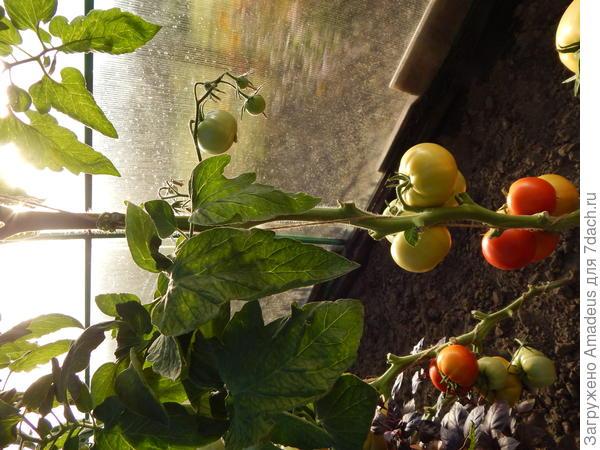 3 плода красного цвета, но еще не полностью вызрели