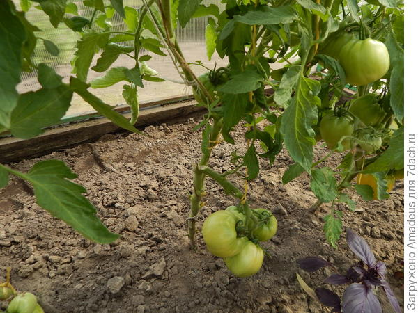 плоды не снимала
