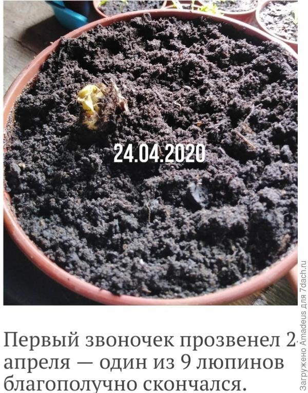 Львиный зев 'Пурпурный вальс' F1 от Русского Огорода. Исправляем ошибки и делаем выводы
