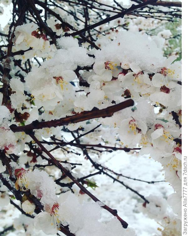 абрикосы в снегу