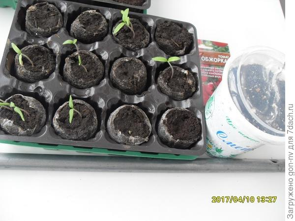 Дополнительно 10 апреля посеяла в емкость из-под сметаны еще семена томата «Обжорка» в количестве 10 шт.