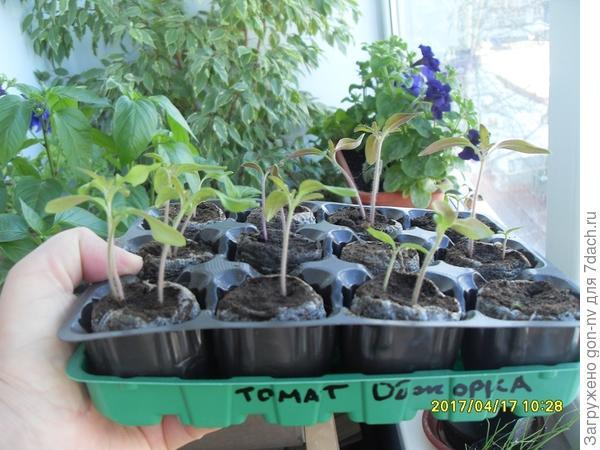 17 апреля провожу пикировку томата «Обжорка» с двумя настоящими листочками.
