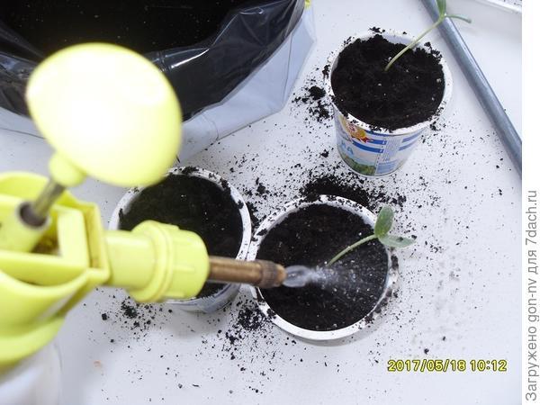 Рассаду увлажнила теплой водой из пульверизатора с добавлением фитоспорина –м.