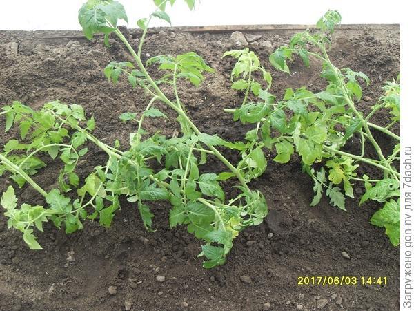томаты высажены