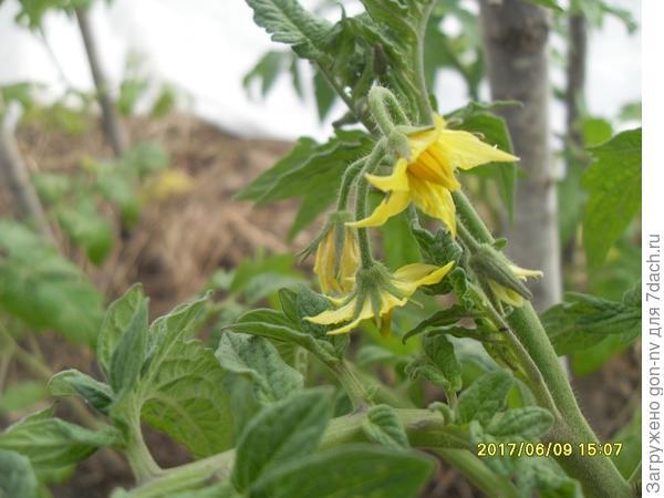 томат цветет