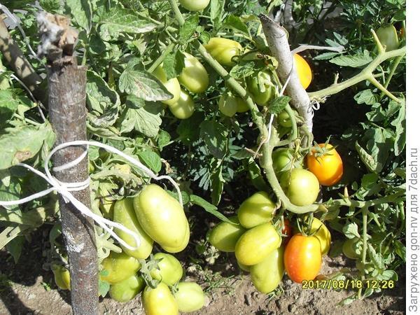 созревание плодов