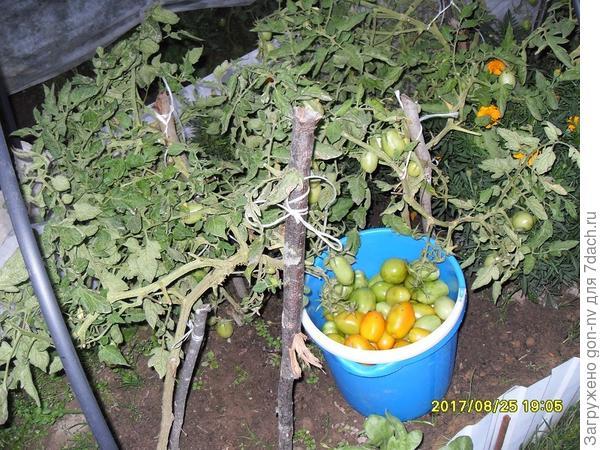 остатки томатов