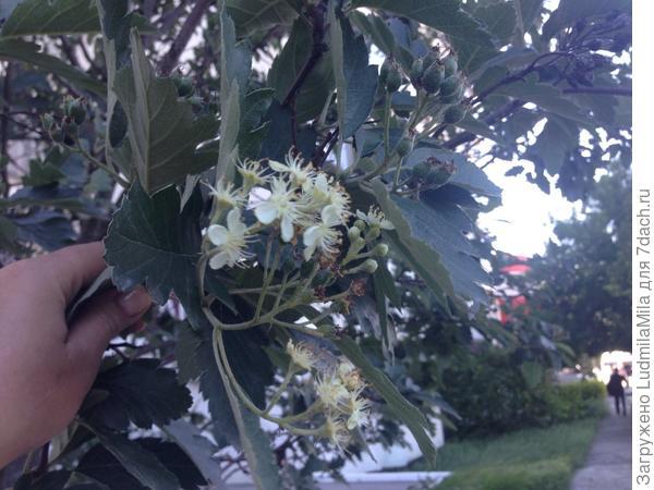 Правее и выше цветов хорошо видна гроздь ягод.