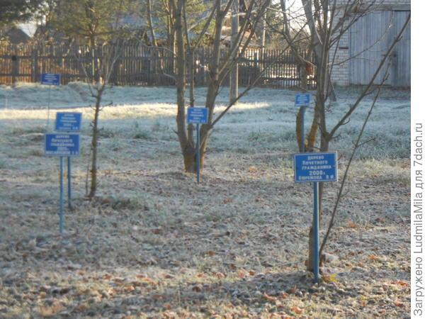 Аллея деревьев,посаженных Почетными гражданами поселка.
