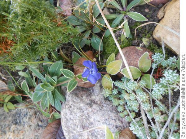 Изморозь на растениях и цветок барвинка.