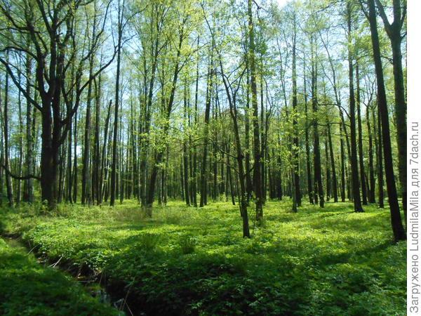 Весенний лес (Ленобласть)