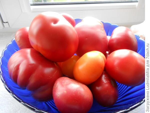Собирали вот такие помидоры