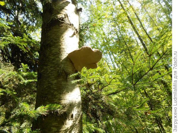 А это еще растущая береза с грибом
