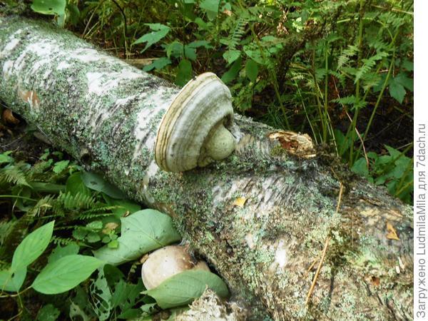 Упавшая береза с грибом-трутовиком