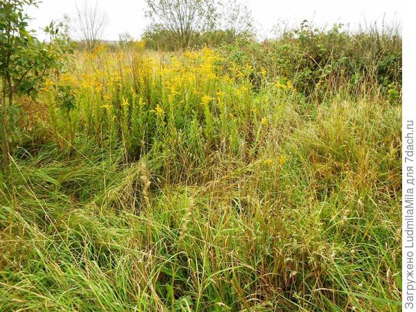 Трава в поле уже желтая