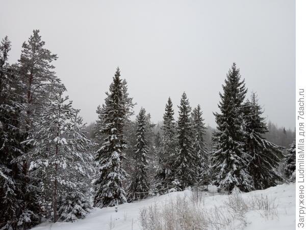 Лес Карелии