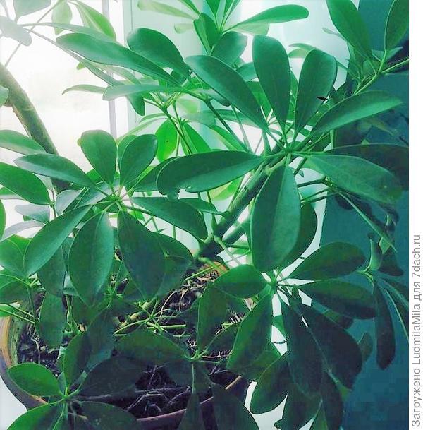 Кустик Шеффлеры.,из которого затем выросло дерево