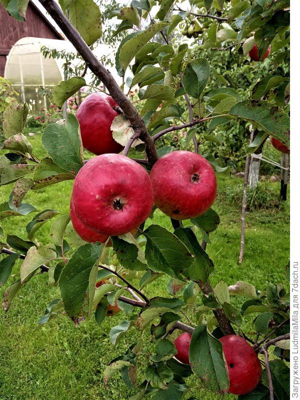 Важная осенняя работа: сбор и сохранение урожая ягод и фруктов, уход за отплодоносившими растениями