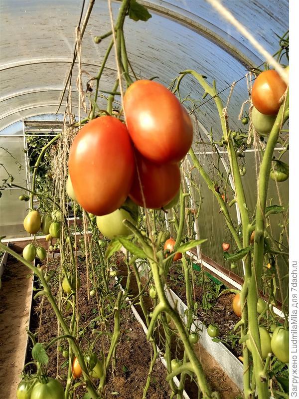 Осенние работы в теплице с томатами