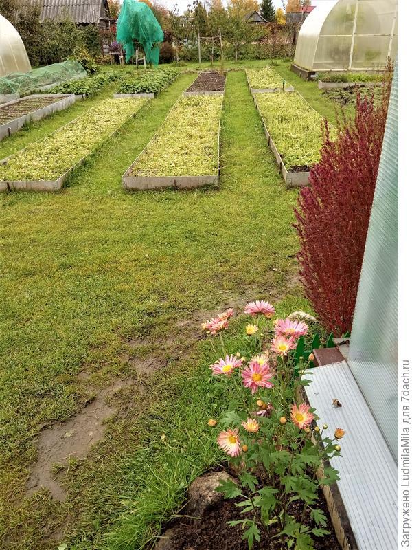 """Сидерация, или """"Зеленые удобрения"""" для отличного урожая"""
